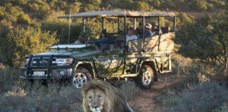 shamwari lion south africa travel