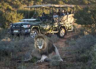 shamwari lion south africa travel