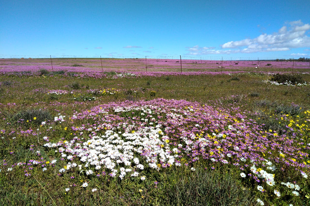 wildflowers nieuwoudtville south africa travel