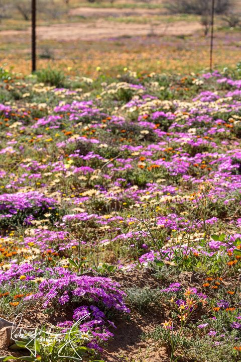 wild flowers Nieuwoudtville South Africa