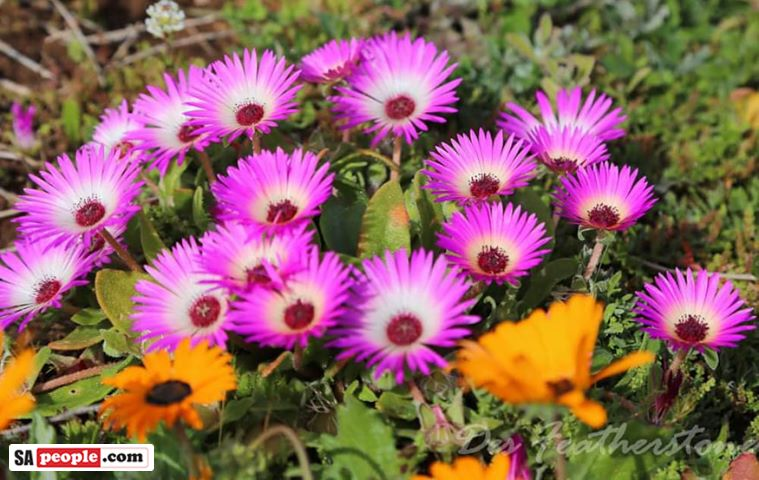 where to view south africa's wildflowers