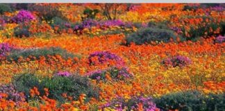 wildflowers namaqualand