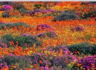 wildflowers namaqualand