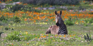 wildflowers-south-africa-zebra
