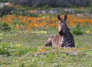 wildflowers-south-africa-zebra