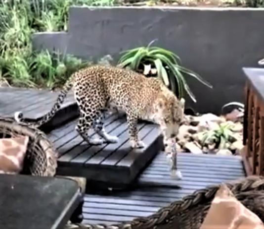 leopard singita ebony lodge south africa(8)