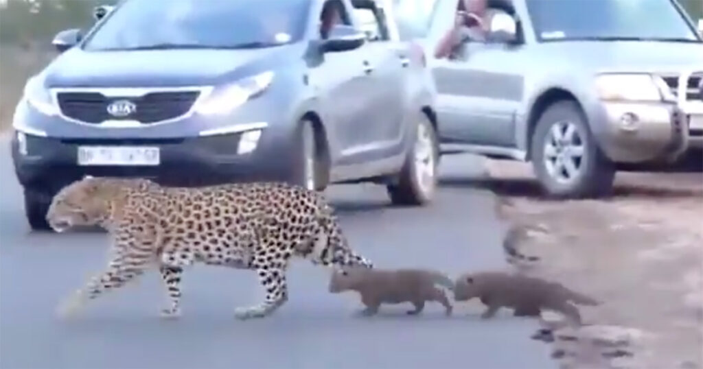 leopard-and-cubs-cross-road-kruger-2