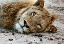 karoo lions killed sanparks pix